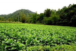 Tobacco farm in Coc Dan commune of Bac Kan province, Viet Nam. Picture: World Agroforestry Centre/Rachmat Mulia